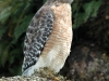 red-shouldered-hawk2