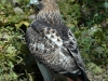 red-tailed-hawk3