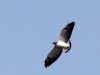 white-tailed-hawk-soaring