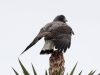 white-tailed-hawk