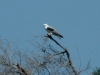 white-tailed-kite2