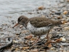spotted-sandpiper