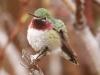 110-broad-tailed-hummingbird