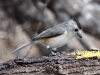 black-crested-titmouse2