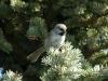 boreal-chickadee2