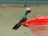 broad-billed-hummingbird