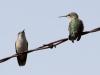 calliope-hummingbirds