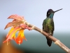 magnificent-hummingbird3