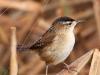 marsh-wren2