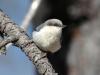 pygmy-nuthatch