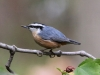 red-breasted-nuthatch3