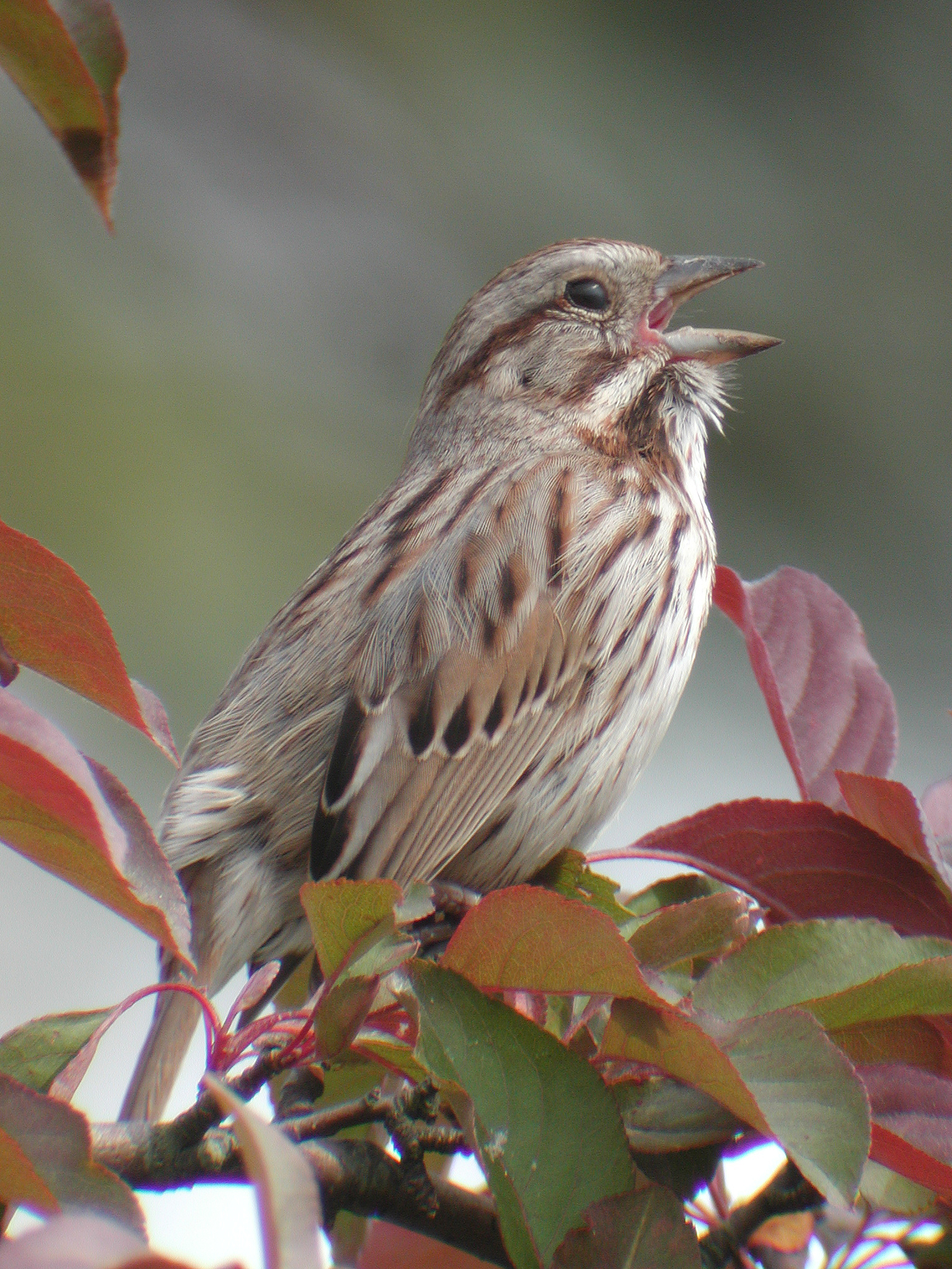 Bird Quiz: Sparrows » BirdQuiz net