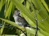 bachmans-sparrow