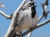 black-throated-sparrow3
