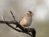 cassins-sparrow