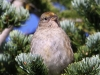golden-crowned-sparrow2