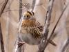 lecontes-sparrow