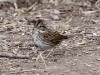 lincolns-sparrow3