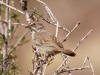 rufous-crowned-sparrow