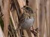saltmarsh-sparrow1