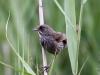 seaside-sparrow1