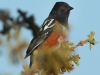 spotted-towhee2
