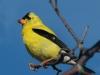 american-goldfinch