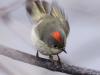 ruby-crowned-kinglet2