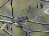 yellow-rumped-warbler2