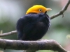 Golden-hooded Manakin
