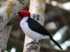 Masked Cardinal