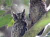 Tropical Screech-owls
