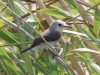 White-headed Marsh Tyrant female