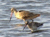 Marbled and Bar-tailed Godwits