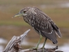 black-crowned-night-heron3