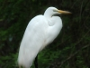 great-egret-closeup