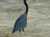 little-blue-heron2