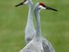 sandhill-crane-heads