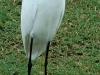 snowy-egret2