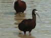 white-faced-ibis2