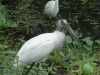 wood-stork-egret