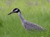 yellow-crowned-night-heron