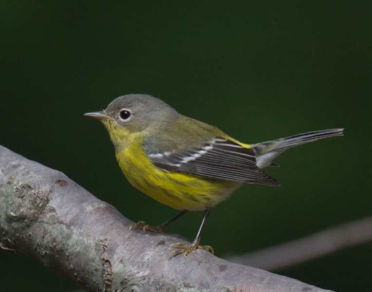 magnolia warbler fall - photo #8