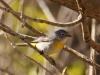003-virginias-warbler
