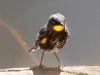 022-audubons-yellow-rumped-warbler