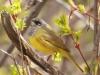 131-macgillvrays-warbler