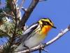 blackburnian-warbler2