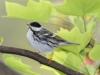 blackpoll-warbler