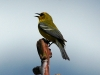 blue-winged-warbler