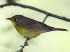 canada-warbler-female
